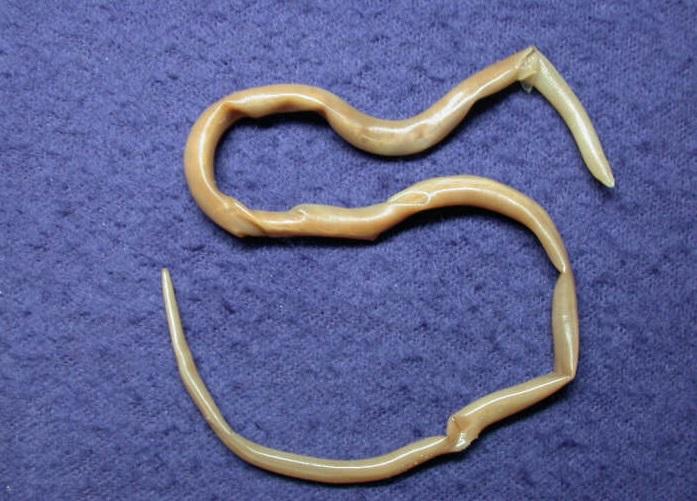 Невыявленные эндогенные заболевания питомца иногда приводят к внезапным припадкам