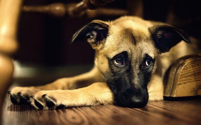 Нелеченые паразиты медленно, но верно разрушает организм собаки