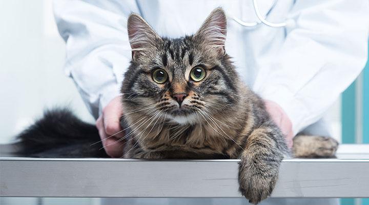 Непривитый кот - легкая добыча для инфекций, блуждающих по ветклиникам