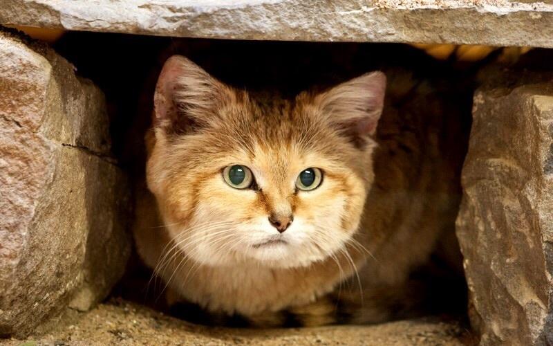 Наличие собственных мощных лап ничуть не мешает барханному коту заселяться в уже заготовленные норы
