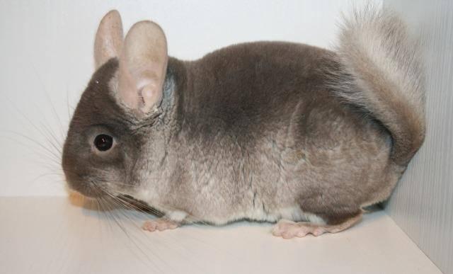 Несмотря на наличие шерсти, шиншилла не является аллергенным животным ввиду отсутствия потовых и слюнных желез