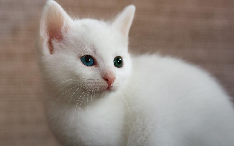 Несмотря на расхожесть мифа о глухоте, этот недуг распространяется лишь на 15% белых кошек