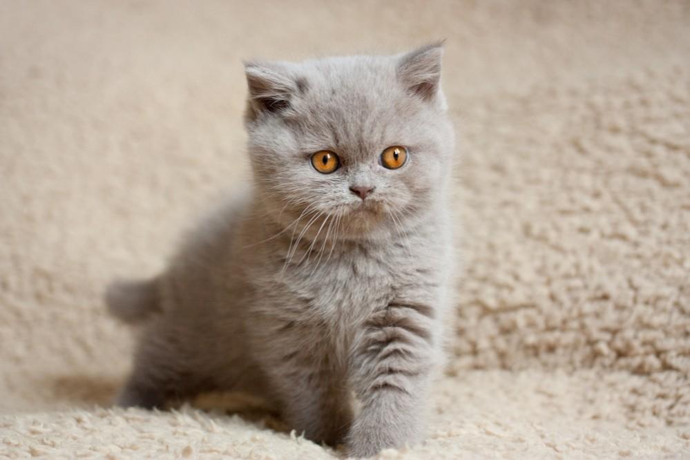 Несформировавшиеся организмы котят не готовы к хирургическим вмешательствам