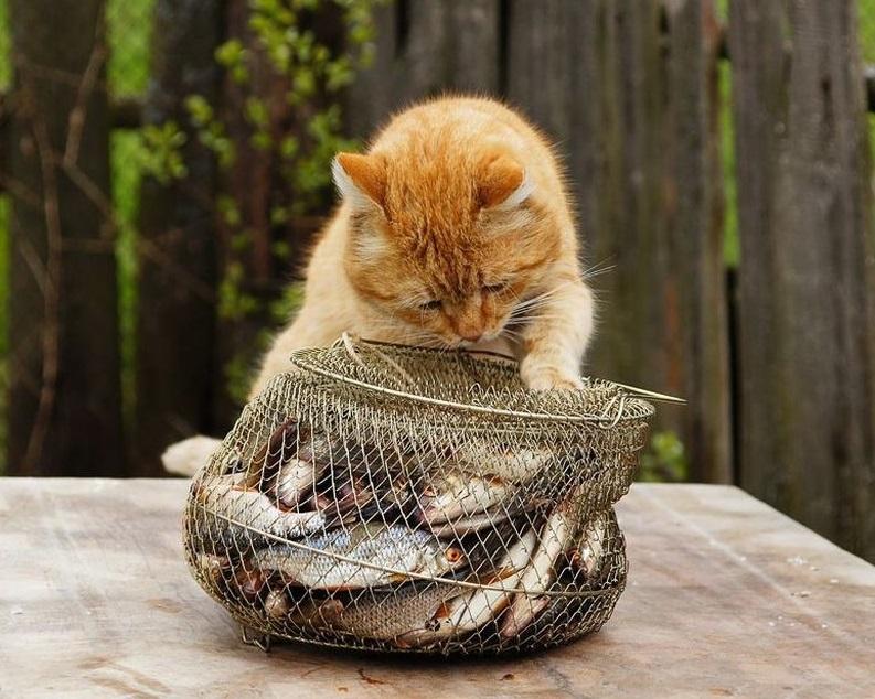 Неумеренное добалевние рыбы в рацион вызывает проблемы с почками