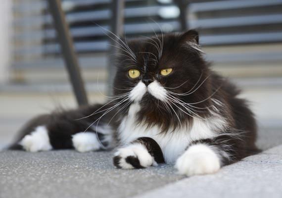 Не всегда у заводчиков получаются котята «задуманного» чёрно-белого цвета
