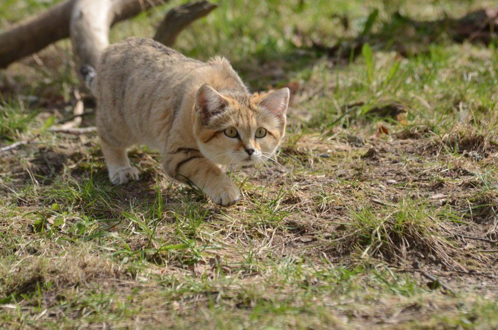 Ни один песчаный кот не начнет охоту, до того как убедится в своей безопасности