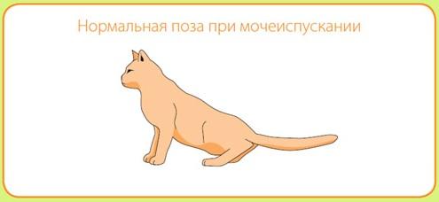 Нормальная поза кошки при мочеиспускании