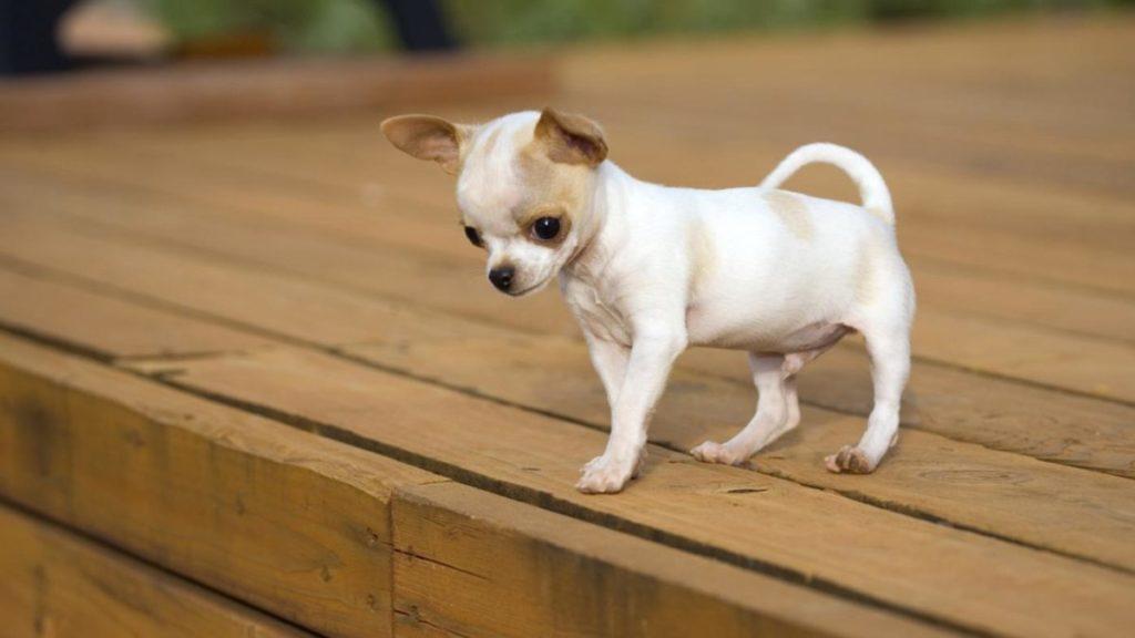 Обычно хозяева ограничиваются элементарными командами, позволяющими минимально дисциплинировать пса