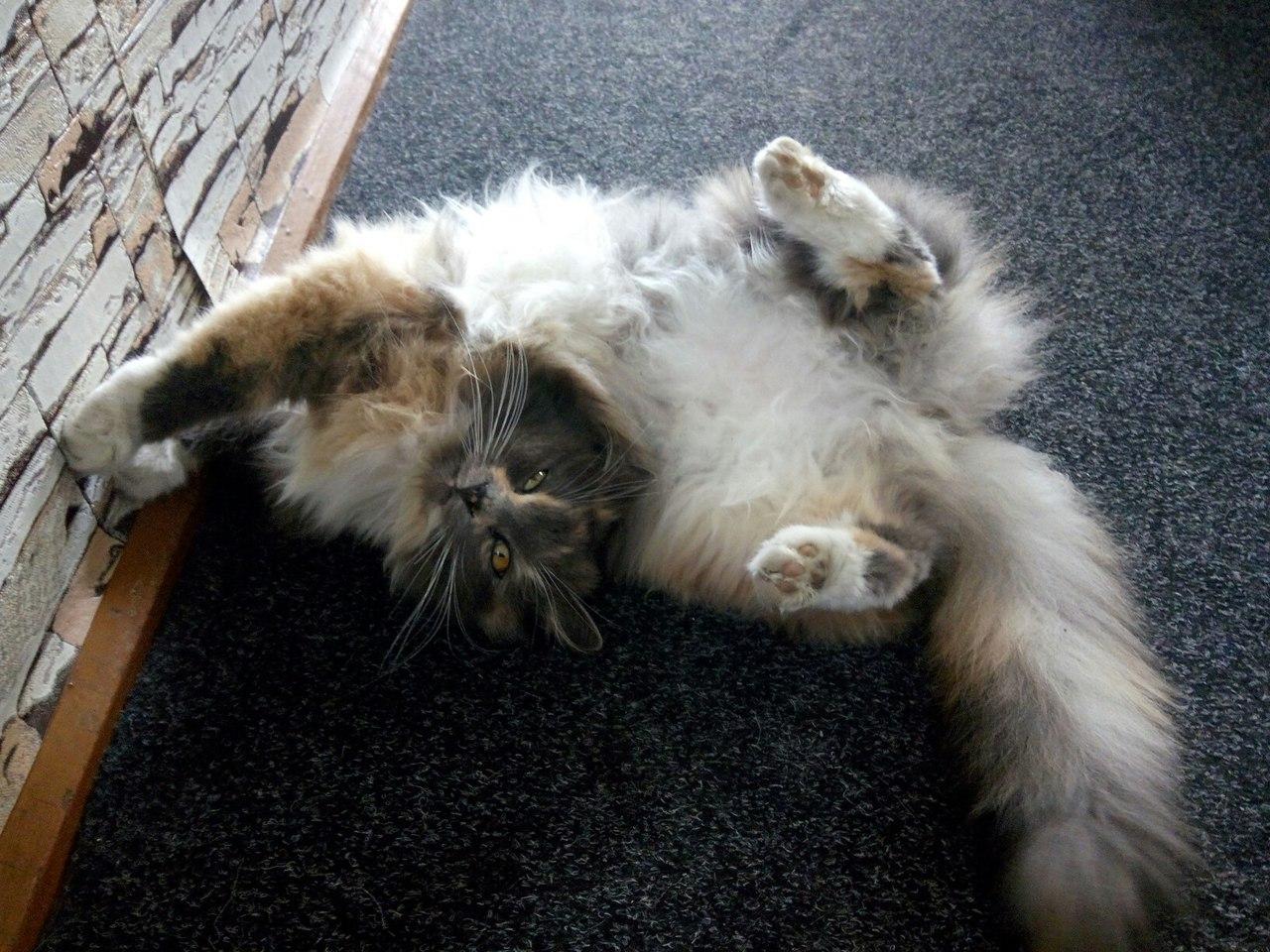 Оказаться на спине во время сна кот может неожиданно для себя