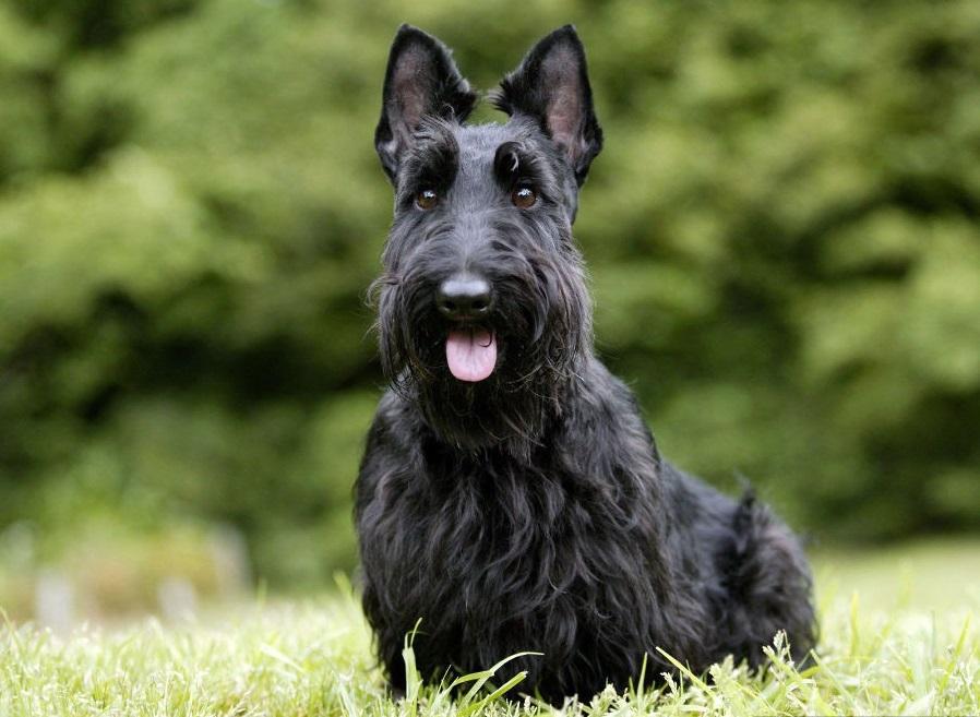 Определенные породы собак, к примеру шотландский терьер, имеют предрасположенность к глюкозурии
