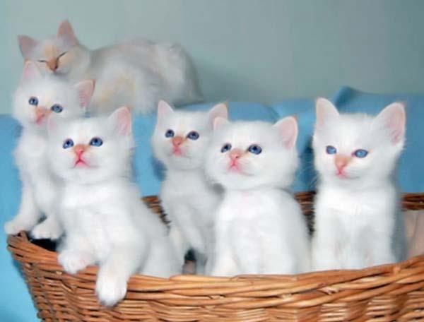 Определить, какой именно ген отвечал за окрас кошки можно только путем дальнейшего скрещивания
