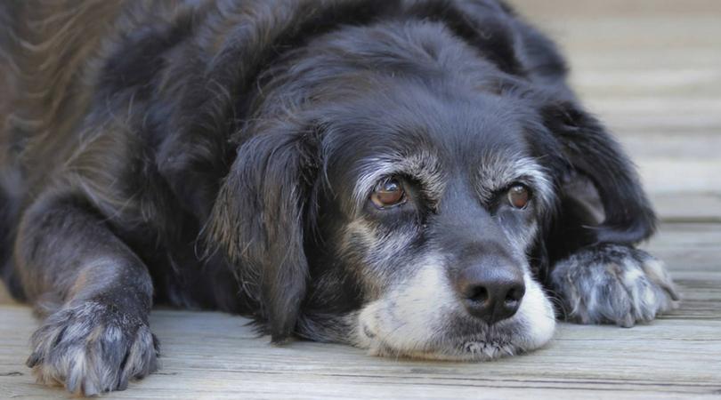 Особую опасность представляют аллергические приступы для хрупких организмов пожилых собак