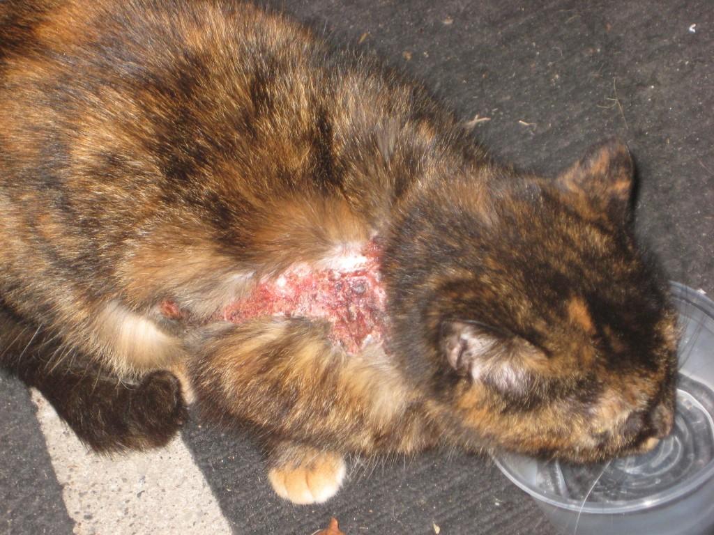 Острая стадия быстро захватывает все тело кота и переходит в хроническую