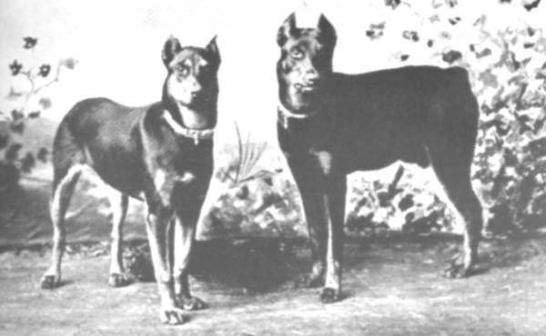 Почти сразу после смерти Ф. Доберманна в 1891 году его дело продолжили Отто Голлер и Филипп Грюнинг