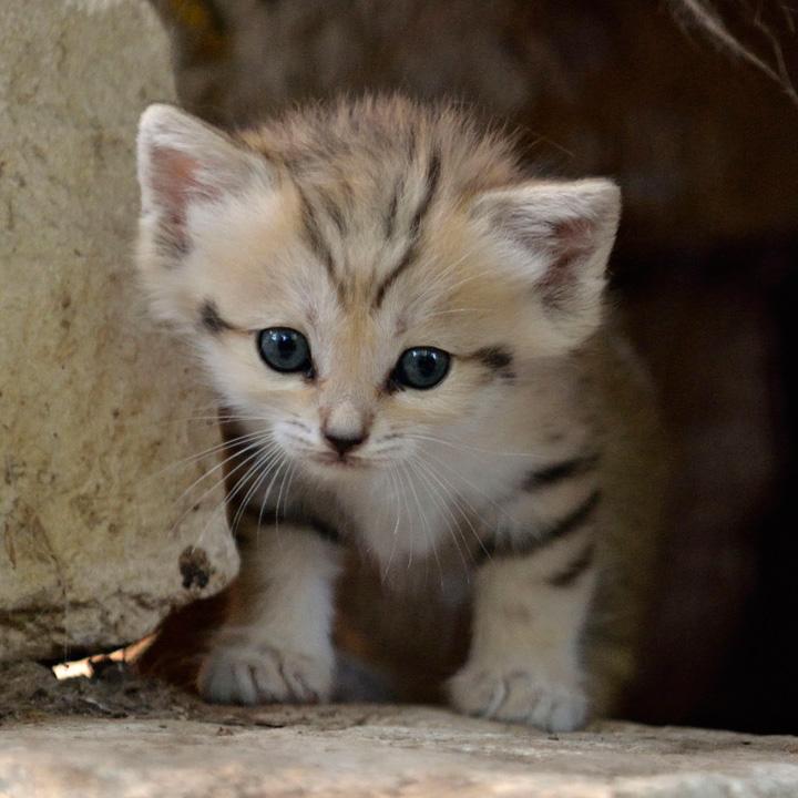 На сегодняшний день недостаточно информации о том, насколько хорошо приживались котята у хозяев
