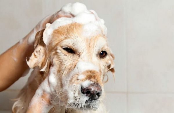 Перед нанесением местного препарата от демодекоза собаку моют мягким шампунем