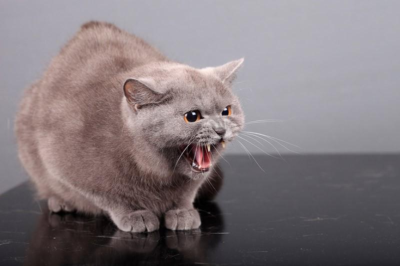 Перенаправленная агрессия позволяет коту справиться с накопившемся напряжением и выпустить пар