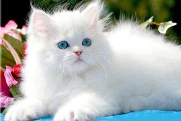 Персидский котёнок с ангельской внешностью
