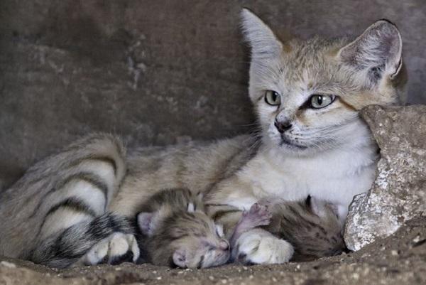 Песчаная кошка в окружении слепых котят