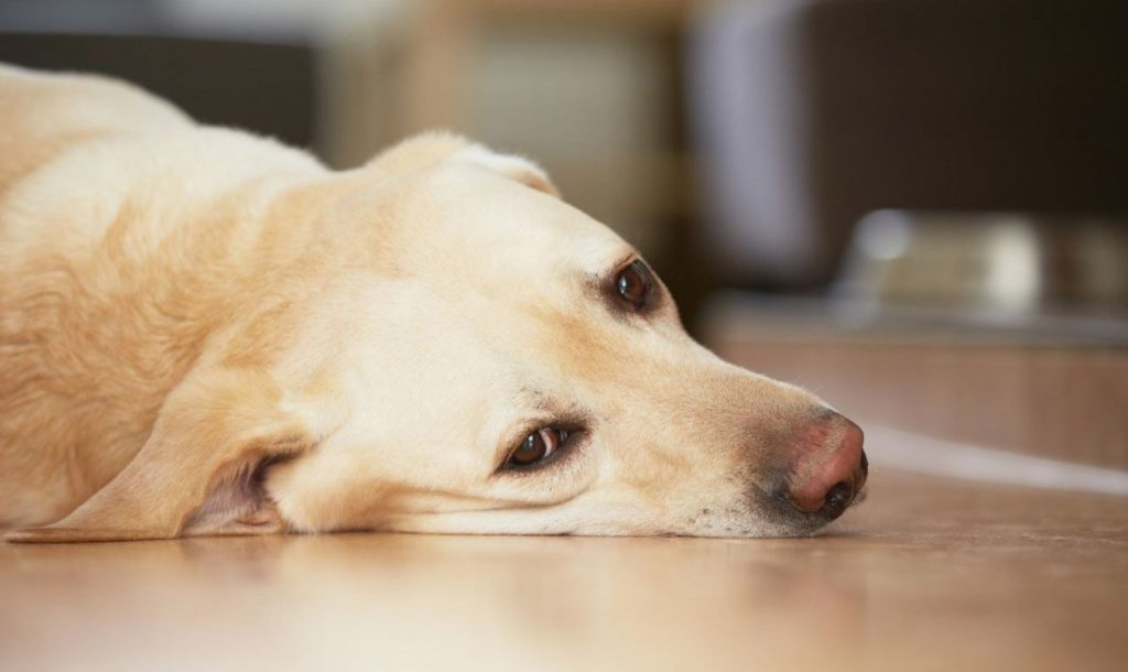 Пес может перестать откликаться на кличку, не всегда узнавать хозяина, вести себя настороженно