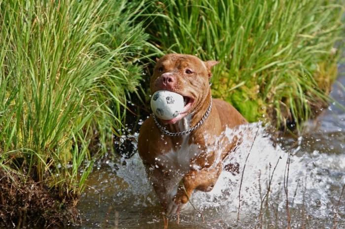 Питбуль радостно играет с мячиком