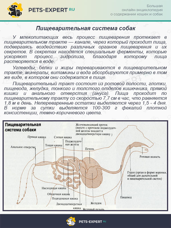 Пищеварительная система собак