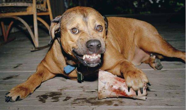 Пищевая агрессия у собак