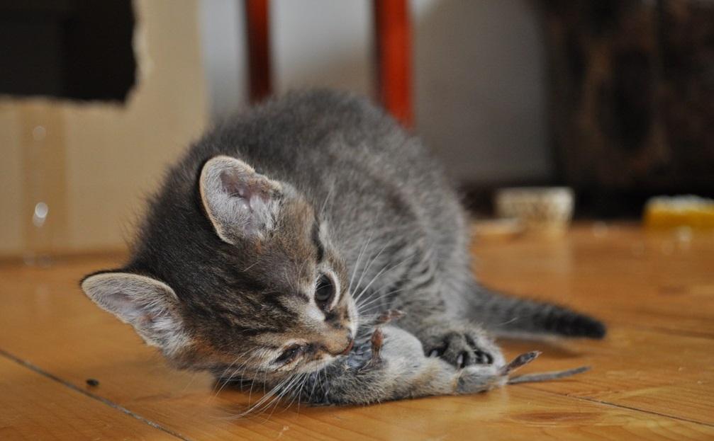 Повадки охотника проявляются у котят в самом раннем возрасте