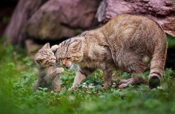 Повышенное беспокойство кошки за сохранность ее малышей будет постепенно спадать по мере их взросления