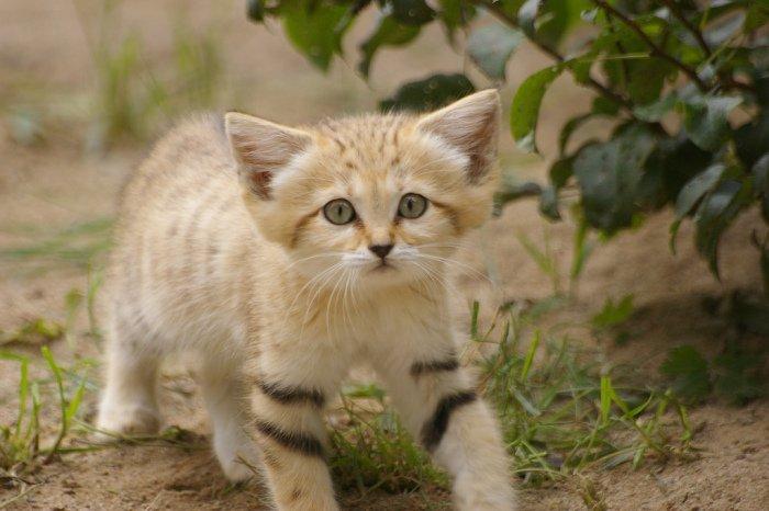 Поголовно посчитать песчаных котов едва ли возможно