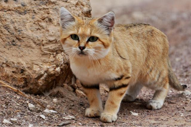 Поиски новых возможных мест обитания барханного кота продолжаются