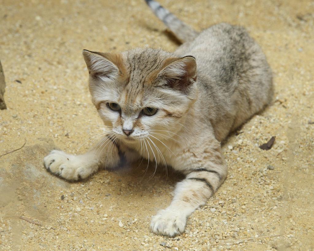 Пойти по следу песчаного кота - задача невыполнимая
