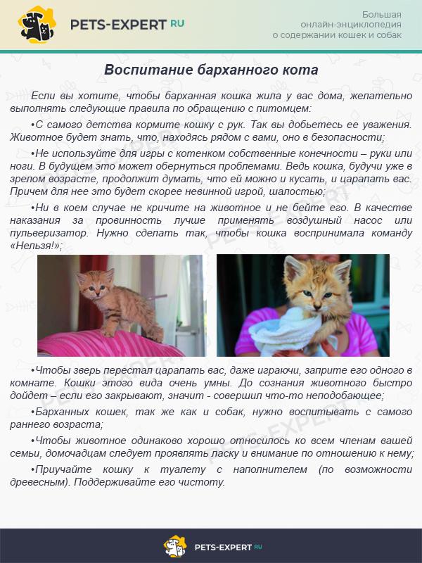 Полезные советы по приручению барханного кота