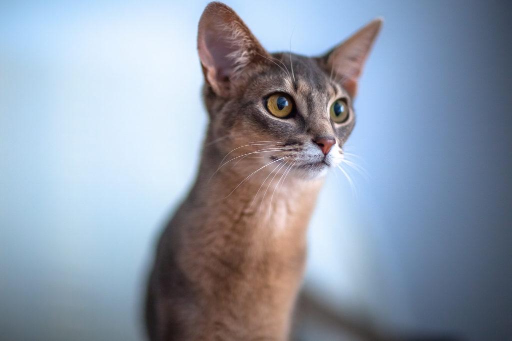 Помимо разделения по окрасу, грядет тенденция размежевания европейского и американского типов абиссинской кошки