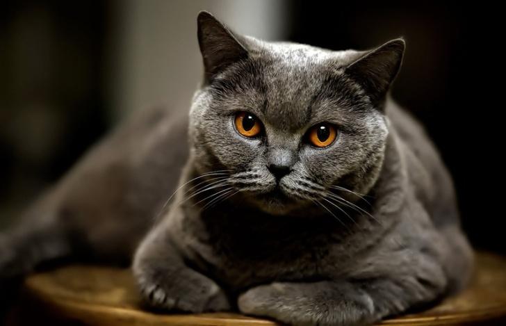 Породистым котам, ввиду подверженности аллергии, следует питаться кормами супер-премиум
