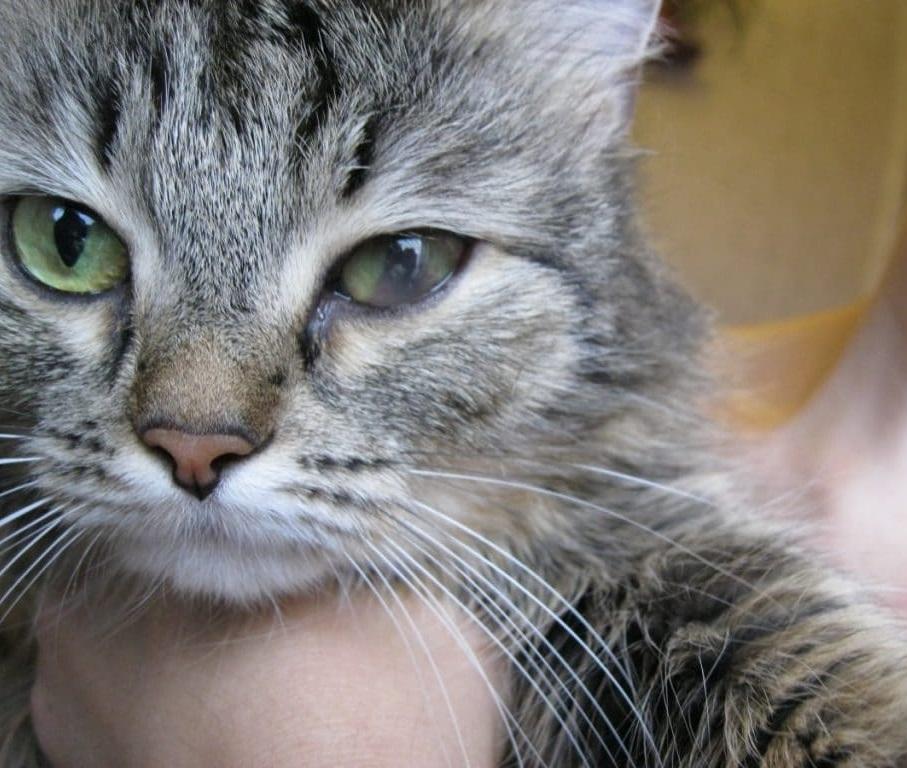 Поскольку ципровет в виде капель воздействует на организм очень мягко, его можно применять даже к беременным кошкам