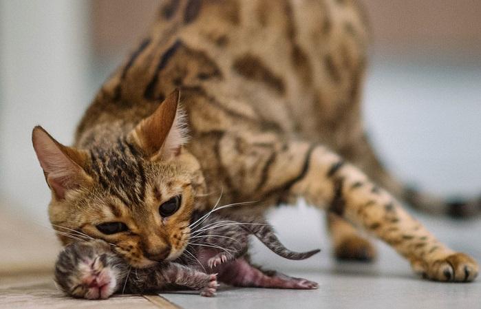 После родов гормональный фон кошки меняется раз и навсегда