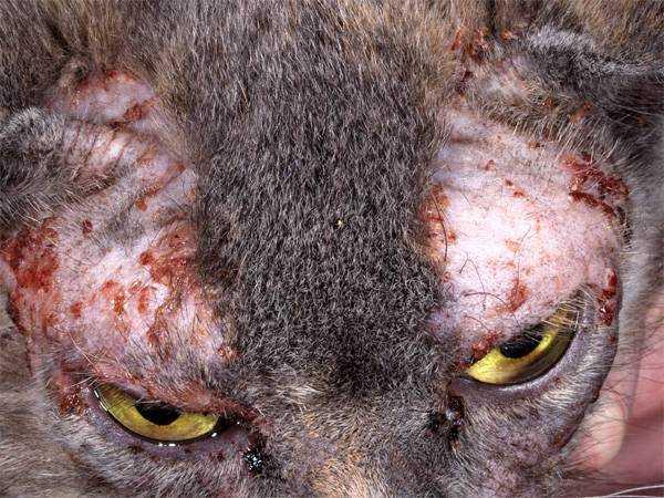 Постоянные аллергические приступы сильно истощают животное