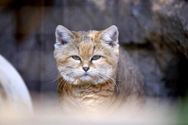 Постоянные кочевники, барханные коты научились гибко подстраиваться под окружающие условия