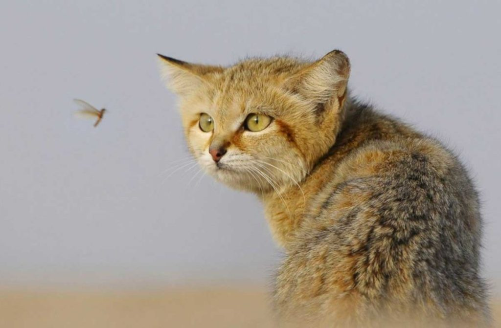 Пустынные хищники не побрезгуют и насекомыми