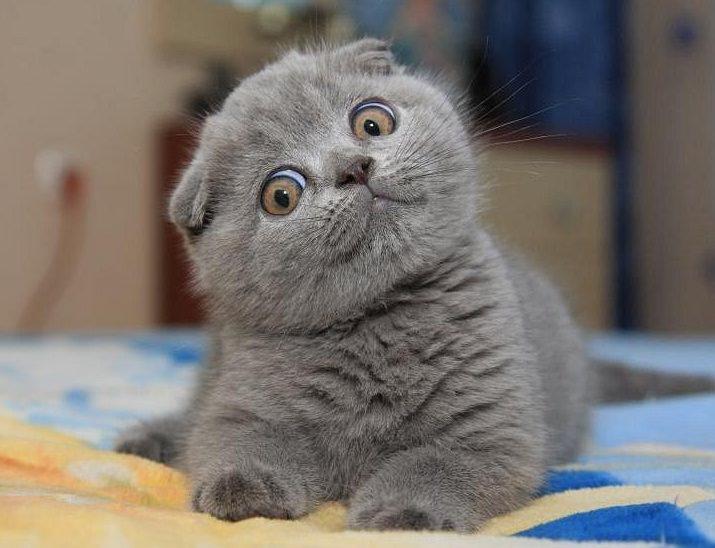 Потомство от привитой кошки при соблюдении правил вязки обеспечивает повышенный уровень иммунитета