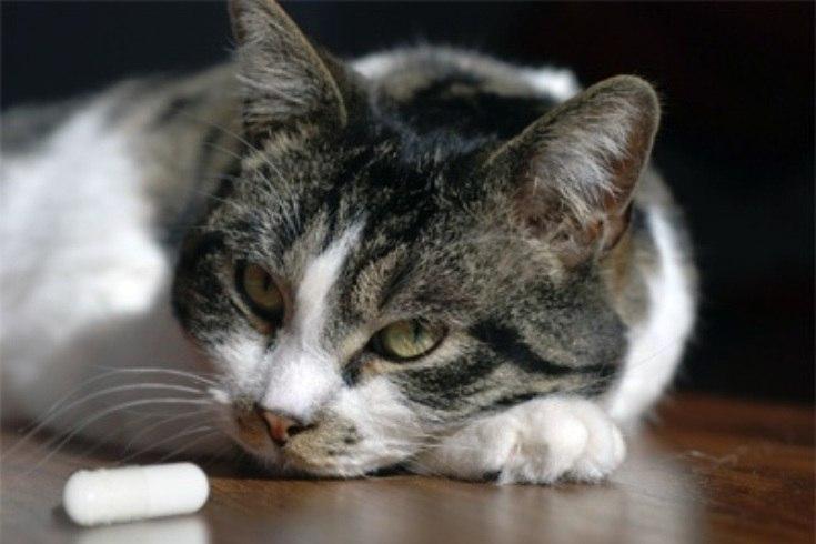 Появление у кота глистов сопровождается с внешними проявлениями апатии и равнодушия к пище