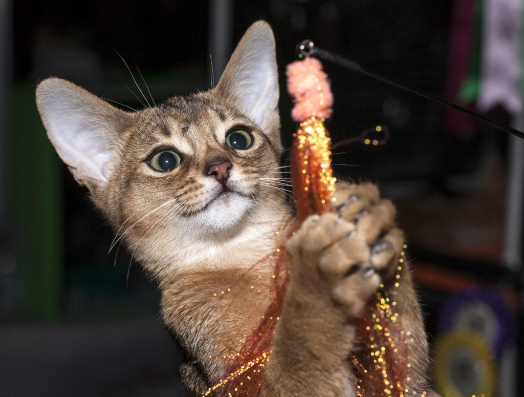 Свойственна абиссинским котам и доля непоседливости