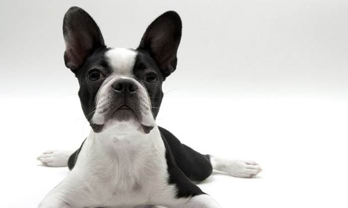 Представители бостон-терьеров относятся к очень умным и легко дрессируемым собакам