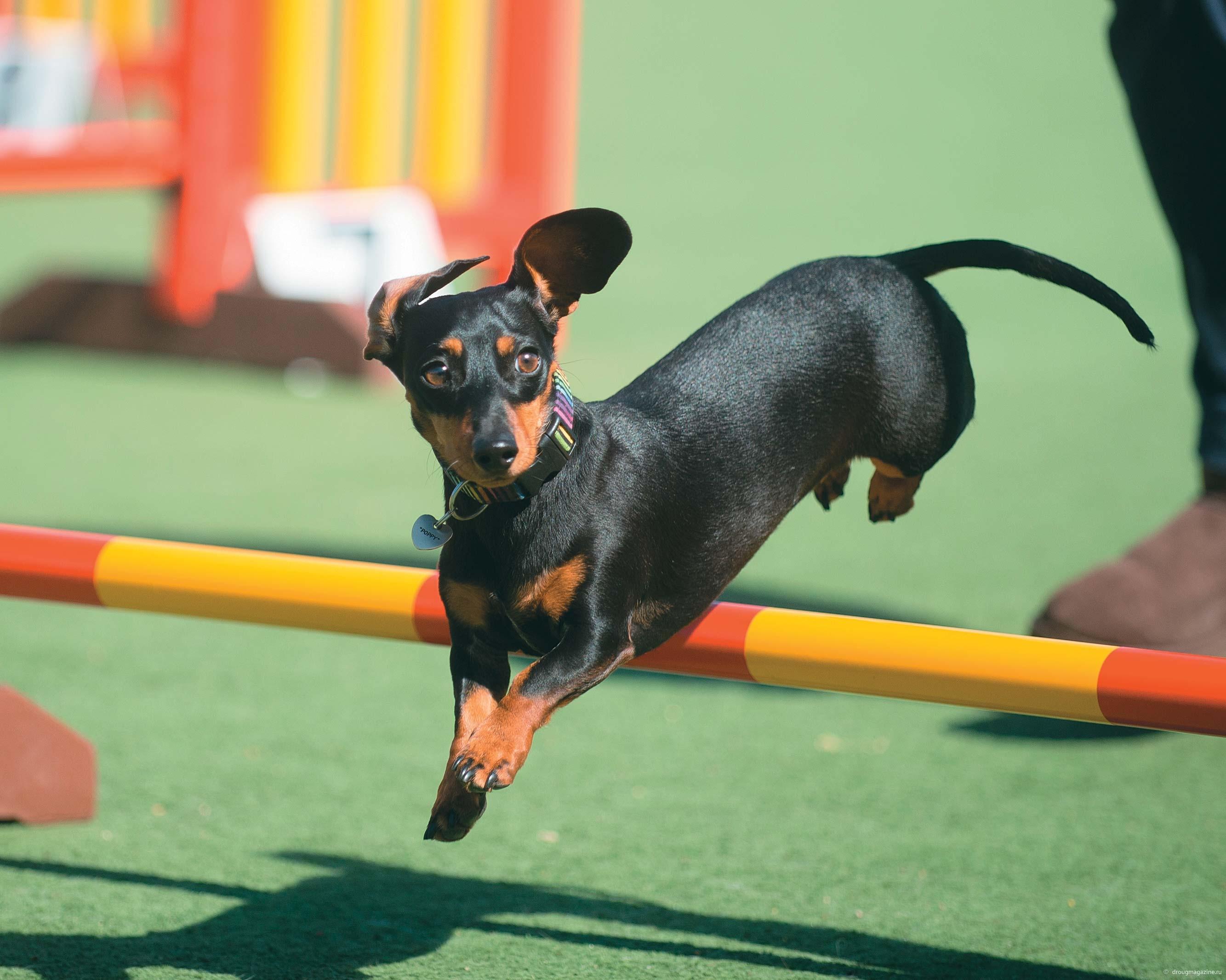 Прежде всего собаку учат прыгать через барьер