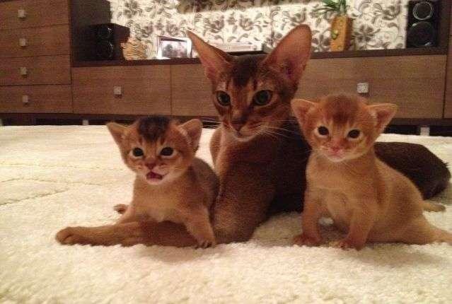 Приобретать котят советуется после пройденных ими карантина и дегельминтизации