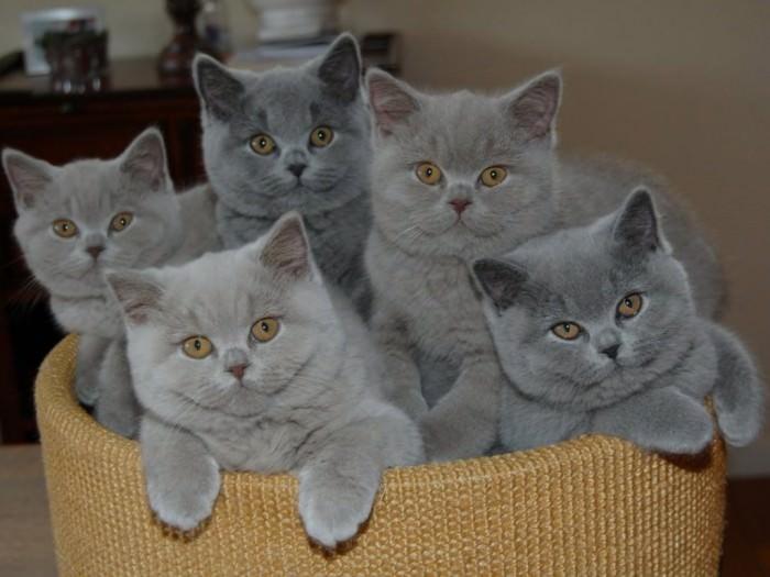 При выборе котёнка глаза у будущего владельца разбегаются