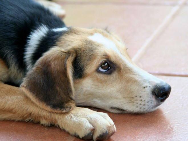 При грамотной медикаментозной поддержке собака сможет прожить долгую активную жизнь