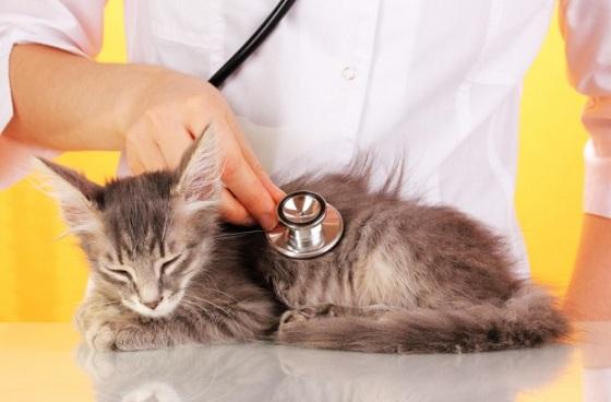 При дефиците массы тела кошку необходимо показать специалисту