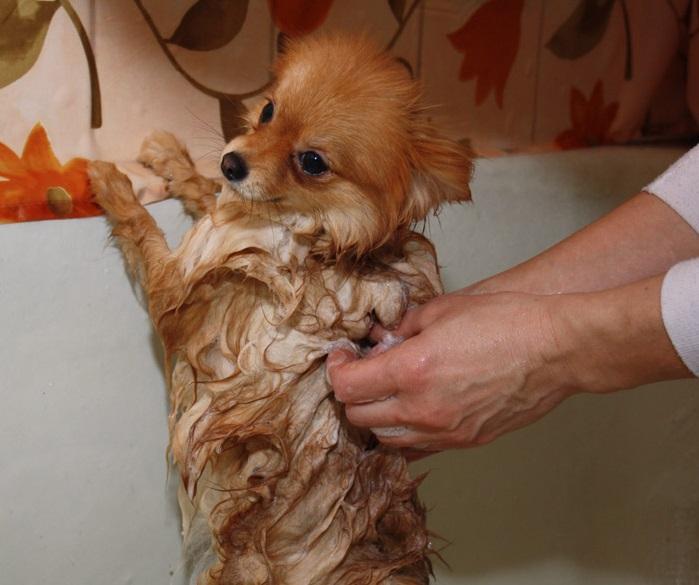 При мытье туловища чихуахуа желательно оставлять всю голову сухой